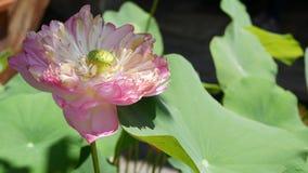 La fleur de lotus rose avec le vert part dans l'?tang Belle fleur de lotus partiellement blanc comme symbole de bouddhisme flotta clips vidéos