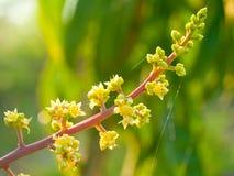 La fleur de mangue Photo libre de droits