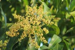 La fleur de mangue image stock