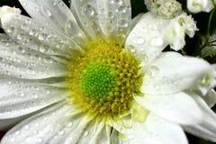 La fleur de marguerite avec des baisses de l'eau se ferment vers le haut Photographie stock libre de droits