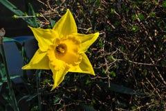 La fleur de narcisse brille son coloré Image libre de droits