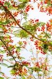 La fleur de paon Image stock
