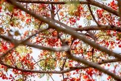 La fleur de paon Photos stock