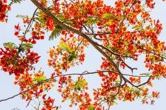 La fleur de paon Photos libres de droits