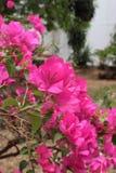 La fleur de papier est couleur rose Photos libres de droits