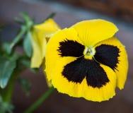 La fleur de papillon Images libres de droits