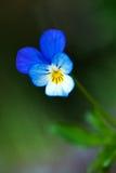 La fleur de pensée Photographie stock libre de droits