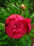 La fleur de pivoine dans les baisses de la rosée Photo libre de droits