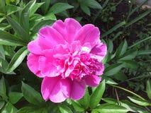 la fleur de pivoine est jolie rose foncé très grand Images stock