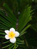 La fleur de Plumeria coincée sur la feuille verte Image libre de droits