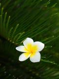 La fleur de Plumeria coincée sur la feuille verte Photo stock