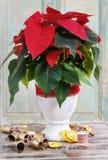 La fleur de poinsettia (pulcherrima d'euphorbe) Image stock