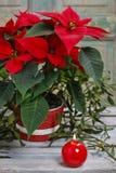 La fleur de poinsettia (pulcherrima d'euphorbe) Photographie stock libre de droits