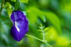 La fleur de pois de papillon, cette fleur peut colorant en dessert thaïlandais ayant la couleur bleue et pourpre photo libre de droits