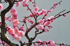 La fleur de prune Image libre de droits
