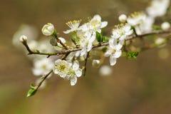 La fleur de ressort de la prune sauvage ou de la diffusion de prune, ou lat de vishnevskoe de prune Cerasifera de Prunus Images libres de droits