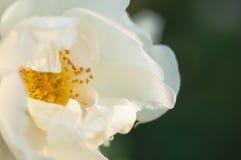 La fleur de rose de blanc couverte par l'eau se laisse tomber sur le fond vert-foncé brouillé photo stock