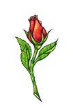 La fleur de rose de rouge est sur un fond blanc Rose dessinant la vue de face Travail manuel par les stylos feutres Le croquis po Photo stock