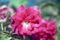 La fleur de rose rouge sur l'arbre vert, l'usine de roses est un buisson épineux Photo libre de droits