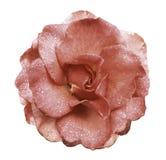 La fleur de rose de rose sur un blanc a isolé le fond avec le chemin de coupure aucune ombres Rose avec des gouttes de l'eau sur  Images stock