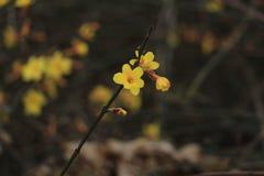 La fleur de rue du premier ressort dans Pékin Images libres de droits