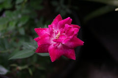 La fleur de s'est levée image libre de droits