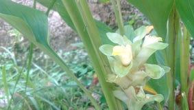 La fleur de safran des indes avant ont la fleur Photographie stock