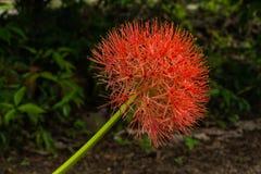 La fleur de sang (multiflorus de Scadoxus) photo libre de droits