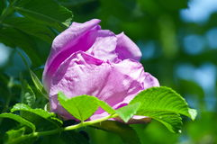 La fleur de sauvage s'est levée Photos stock