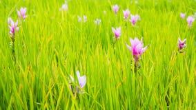 La fleur de Siam Tulip ou les sessilis de safran des Indes fleurit dans le graden à M Images stock