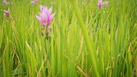 La fleur de Siam Tulip ou les sessilis de safran des Indes fleurit dans le graden à M Photo stock