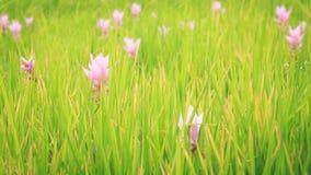 La fleur de Siam Tulip ou les sessilis de safran des Indes fleurit dans le graden à M Photographie stock libre de droits