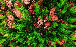 La fleur de transitoire de Bush et les feuilles vertes sont fond photo stock