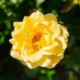 La fleur du jaune adorable frais s'est lev?e sur un fond des feuilles vertes Foyer s?lectif V images libres de droits