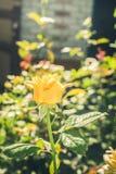 La fleur du jaune frais s'est lev?e sur un fond des feuilles vertes Foyer s?lectif photographie stock