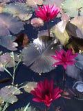 La fleur du loto Photographie stock libre de droits