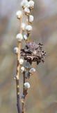 La fleur du saule Photos stock