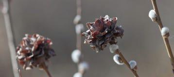 La fleur du saule Photo stock