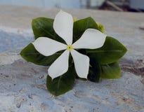 la fleur du vince de groupe s'est levée Photos stock