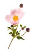 La fleur est anémone Image stock