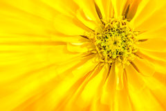 La fleur est zinnia jaune photo stock