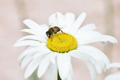 La fleur et l'abeille simples de marguerite de ressort Images libres de droits