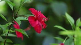 La fleur exotique rouge avec le vert part dans un jardin banque de vidéos