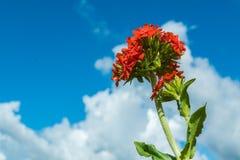 La fleur fleurit, de dessous, sous le ciel bleu Image libre de droits