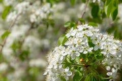la fleur fleurit le blanc photo stock