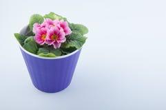 La fleur gentille de primevère avec des pétales de rose et le vert laisse l'élevage dans le pot en plastique pourpre sur le blanc Photographie stock libre de droits