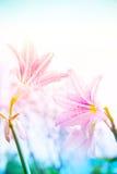La fleur Hippeastrum ressemble à un blanc de lis avec les rayures roses pl image stock