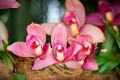 La fleur hybride d'orchidée de Lycaste, se ferment  photographie stock libre de droits