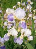 La fleur intéressante de l'iris. Photo stock