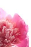 la fleur a isolé le rose de pivoine Photos stock
